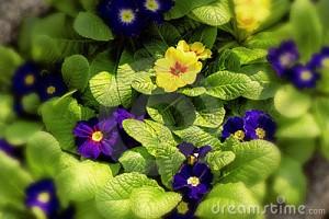 yellow-blue-primroses-18237652